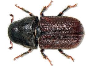 mountain-pine-beetle2