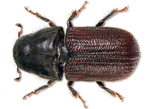 mountain-pine-beetle2